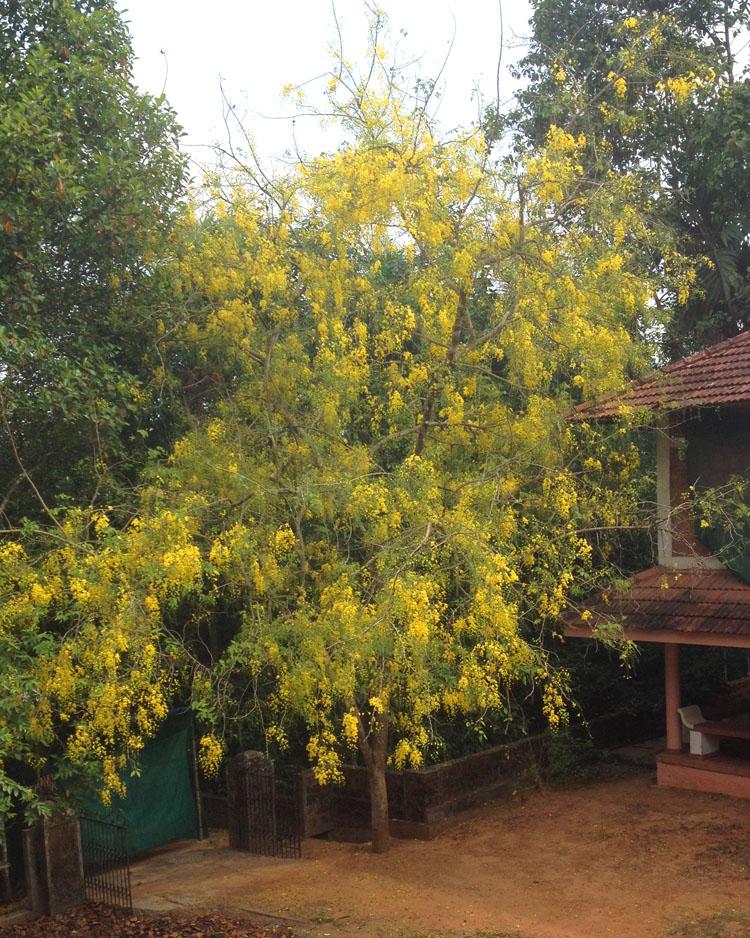 Kani Konna - Golden Shower - in full bloom.